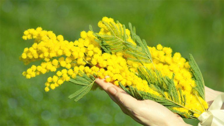 Por que as italianas ganham flores amarelinhas no Dia da Mulher?