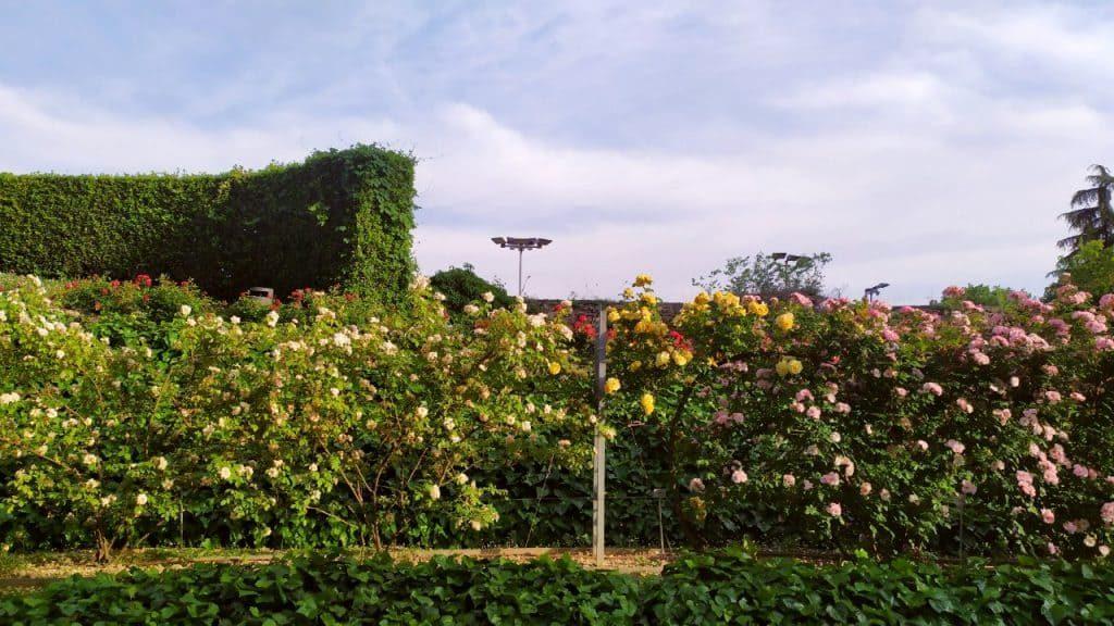 Parede de flores no Roseto di Santa Giustina, em Pádua